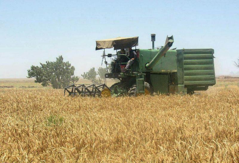 شروع برداشت گندم مزارع استان بوشهر از 25 اسفند