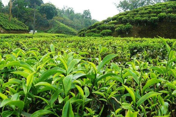 نقش فله فروشان و دلالان در عدم کیفیت چای مازندران چیست؟